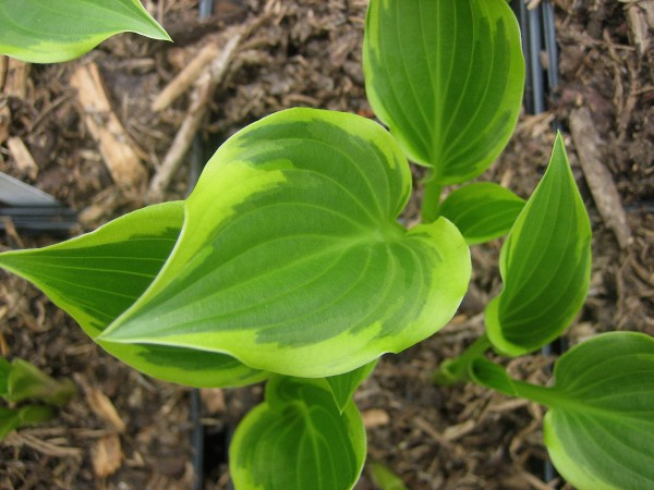 "Hosta ""Tea at Bettys"" (i.11cmT.) Funkie - Duft"