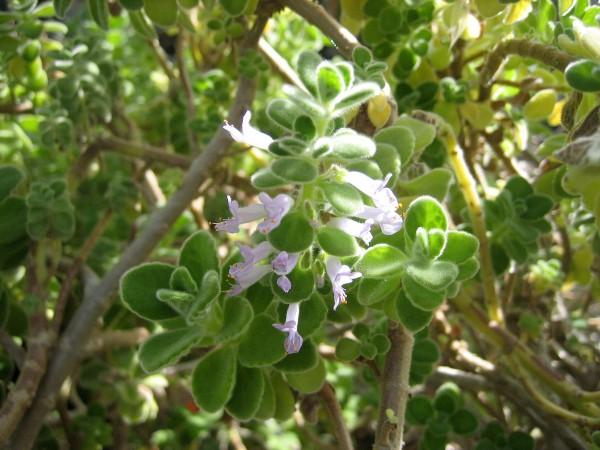 Plectranthus purpuratus Cubanischer Oregano (i.9cmT.)