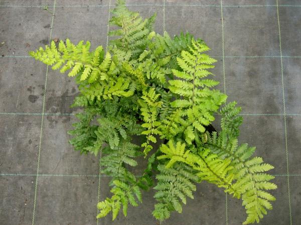 Dryopteris crassirhizoma (= buschiana)(i.11cmT.) Japanischer Glanzwurmfarn