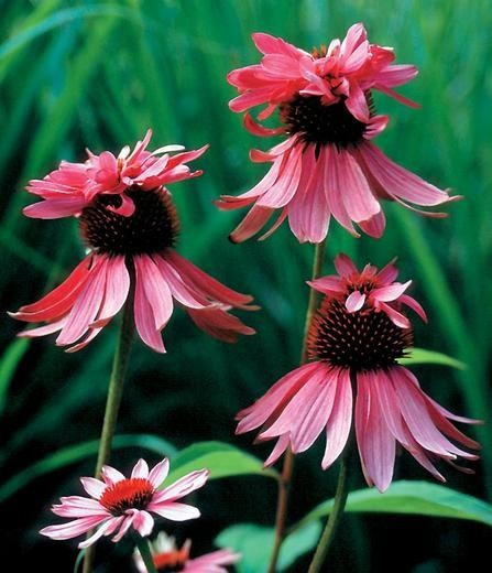 "Echinacea purpurea ""Double Decker"" (i.9cmT.) Sonnenhut, doppelter"