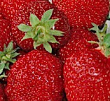 "Fragaria ""Honeye"" (i.10cmT.) Erdbeere, früh"