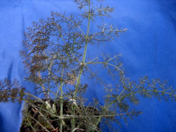 Foeniculum vulgare var. rubra Rubrum (i.14cmT.) Bronzefenchel