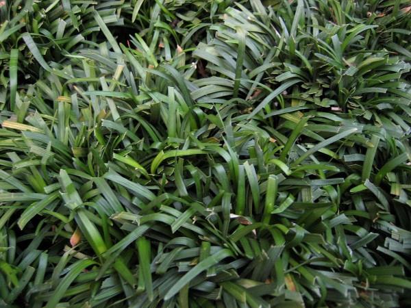 Ophiopogon japonicus ´Dwarf Mondo` (i.9cmT.) Schlangenbart