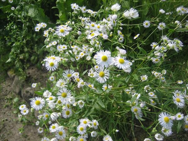 "Aster ericoides ""Herbstmyrthe""(i.11cmT.) September Kraut"