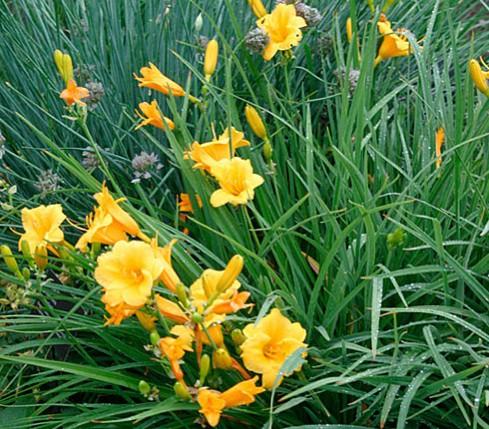 "Hemerocallis Hybride ""Stella de Oro"" (i.11cm T.) Duft Taglilie, Dauerblüher"