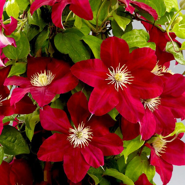 Clematis Boulevard Issey (i.2l T.), Waldrebe weinrot