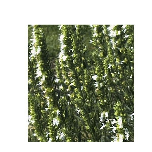 Hyssopus officinalis ´Alba`(i.9cm T.) Ysop