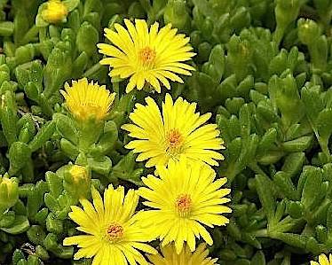Delosperma nubigenum (i.12cmT.) Mittagsblume