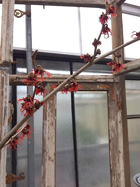 "Hamamelis intermedia ""Feuerzauber"" (i.20cm T., jetzt ca 80cm hoch)"