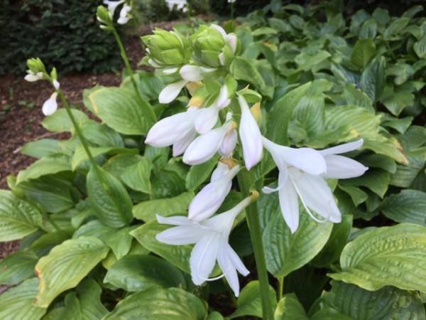 Hosta plantaginea var. grandiflora (i.15cmT.) Duft Lilien - Funkie
