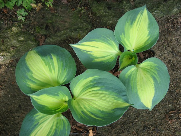 "Hosta Hybride ""Great Expectation"" (i.9cm T.), Grosse Blaurand-Funkie"