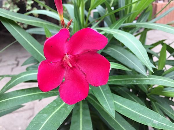 """Nerium oleander """"kirsch rot einfach"""" (i.18cmT.), Oleander"""