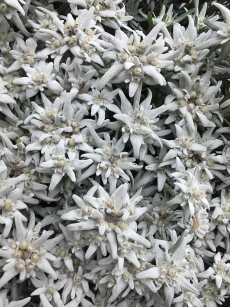 "Leontopodium souliei ""Blossom of Snow""(i.11 cm T.) Echtes Alpenedelweiss"