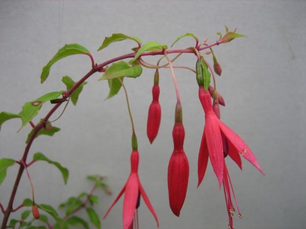 Fuchsia magellanica Gracilis (i11cmT) Freilandfuchsie