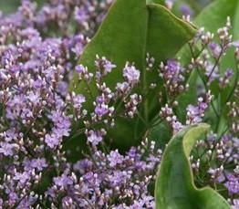 Limonium latifolium (i.3l T.) Meerlavendel, Strandflieder