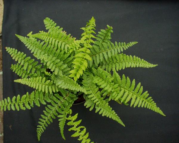 Dryopteris affinis ´Pinderi`(i.11cmT.) Schmaler Goldschuppenfarn