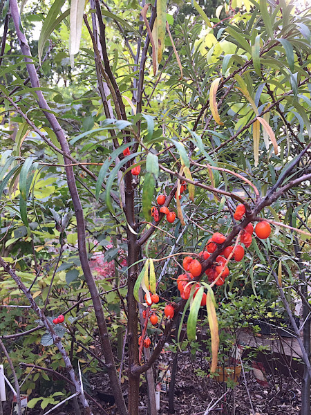 """Hippophae rhamnoides """"Friesdorfer Orange"""" (i.5lT.), Sanddorn selbstfruchtend"""