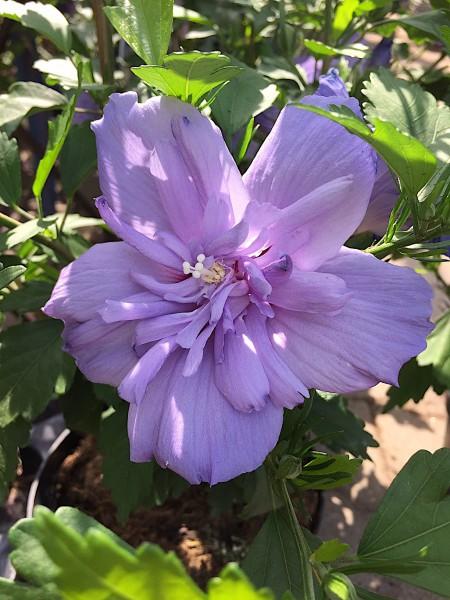 "Hibiscus syriaca ""Blue Chiffon"" ®(i.3l T.)"