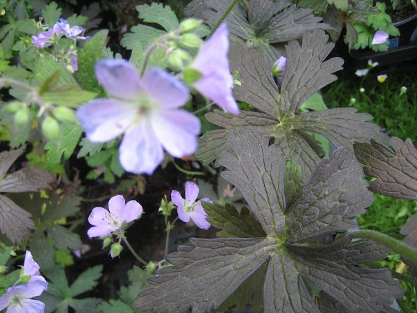 "Geranium maculatum ""Espresso"" (i. 9cmT.) Storchenschnabel"