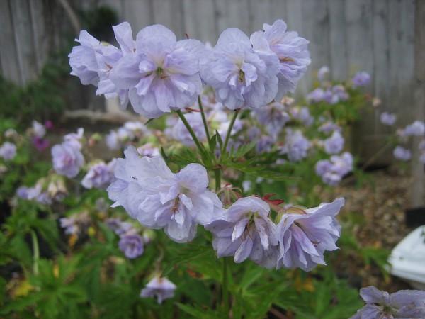 """Geranium pratense """"Cloud nine"""" (i.9cmT.) Storchenschnabel, gefüllt"""