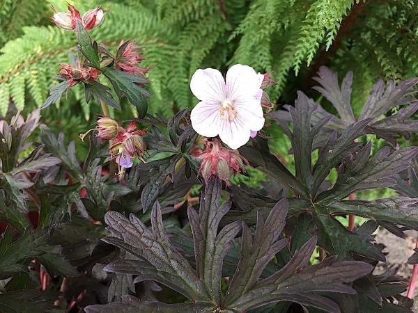 "Geranium pratense ""Black`n White"" ® (i.11cmT.)"