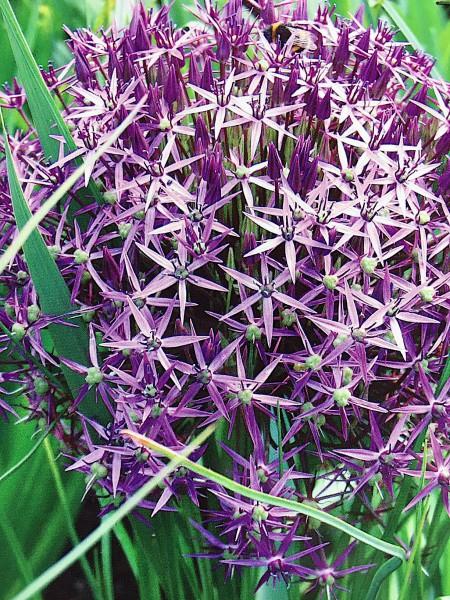 Allium christophii (3 i. Pack)