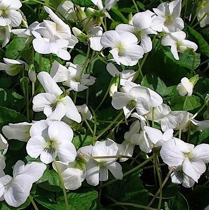 "Viola sororia ""Albiflora"" (i.9cmT.) Pfingstvelchen"