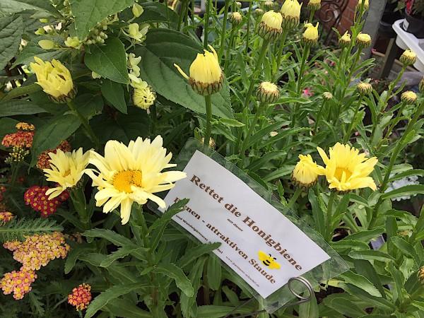 "Leucanthemum x superbum ""Banana Cream"" R (i.11cmT.), Sommer - Margarite"
