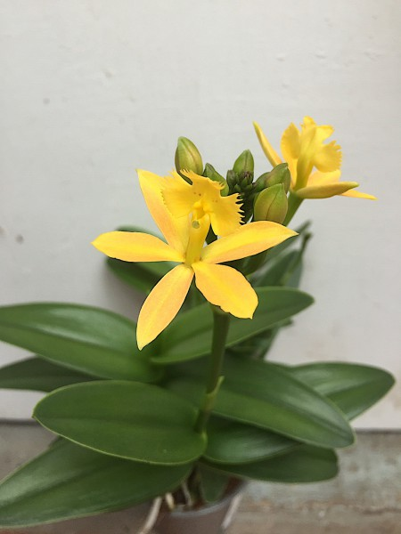 Epidendrum radicans gelber Star Hybride (i.10cmT.)