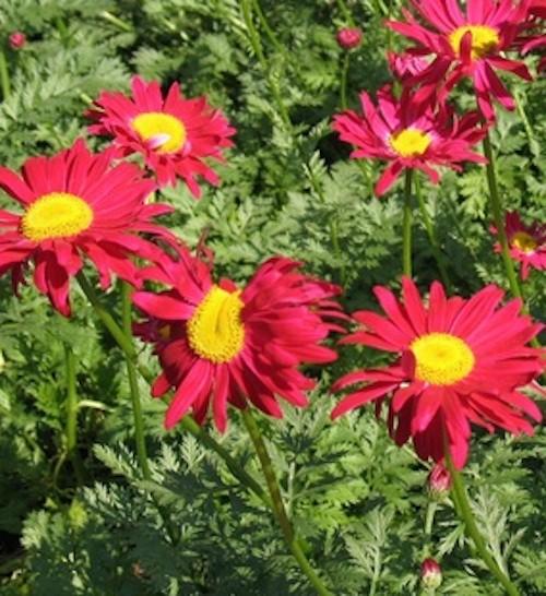"Tanacetum coc. ""Robinson`s Red""(i.9cm T.),Bunte Garten-Margarite"