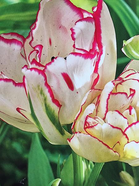 "Tulipa ""Belicia"" (7 i. Pack), Tulpe, Papagei"