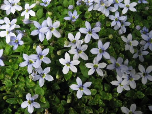 Isotoma fluviatilis (i.9cmT.) Blausternchen