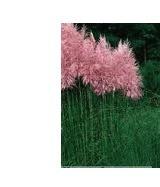 "Cortaderia selloana ""Pink Feather"" (i.11cmT.) Pampasgras, rosa"