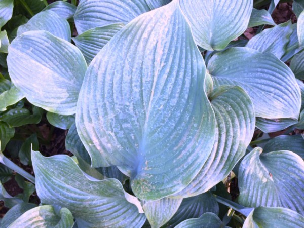 "Hosta ""Schoebels Favorit"" (i.11cmT.)"