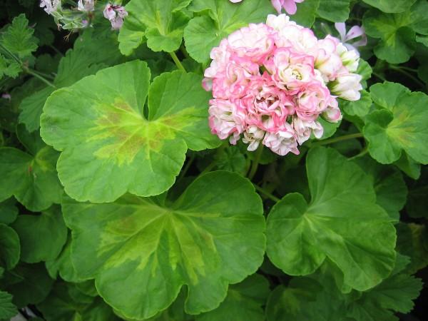 "Pelargonium ""Happy Appleblossom"" i.11cmT.)"