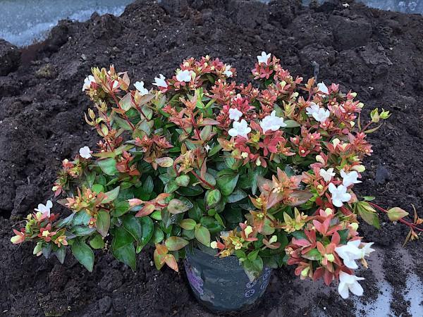 "Abelia x grandiflora ""Little Lady"" R (i.13cmT.)"