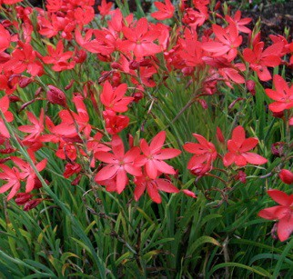 "Schizostylis coccinea ""Major""(i.9cmT.) Roter Spaltgriffel"