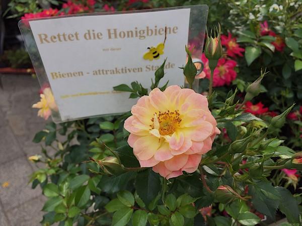 "Rose ""Bienenweide Fruity®"" (i.3 l Topf), Bienen - Rose"