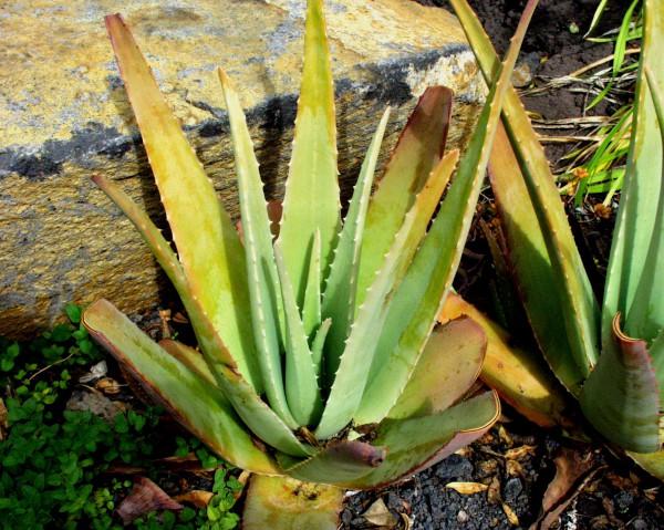 Aloe vera syn. bardadensis (i.10cmT.)
