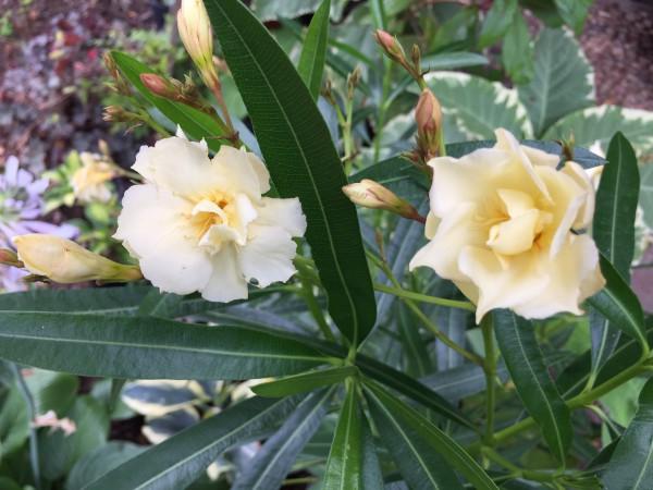 """Nerium oleander """"creme Gelb"""" (i.132mT.)"""