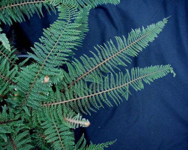 Polystichum set. ´Prol. Wollastonii gen. (i.11cmT.) Wollaston Filigranfarn