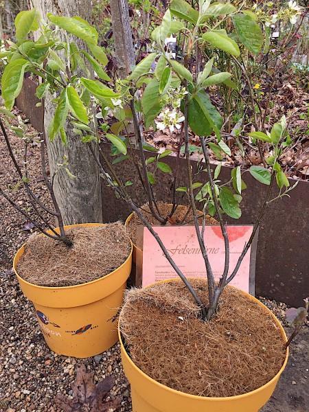 "Amelanchier alnifolia ""Saskatoon Berry""®(i. 21cmT.)"