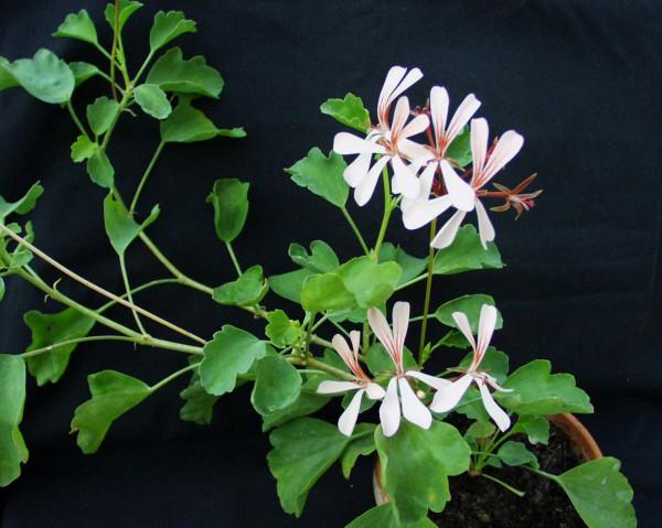 Pelargonium acetosum ciconium (I.11cmT.)