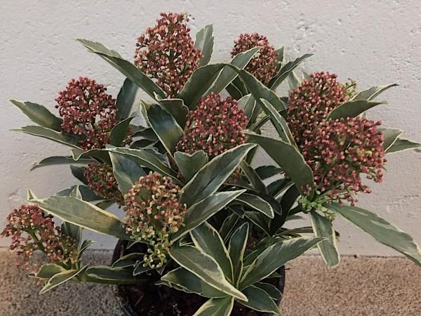 """Skimmia japonica """"Mystic Marlot""""R PBR (i.13 cm T.)"""