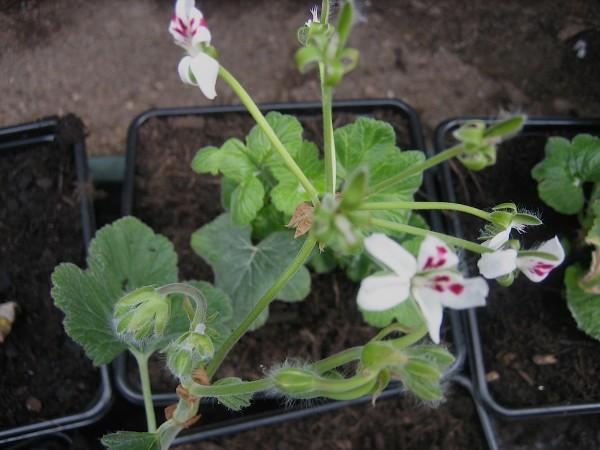 Pelargonium echinantum (i.11cmT.)