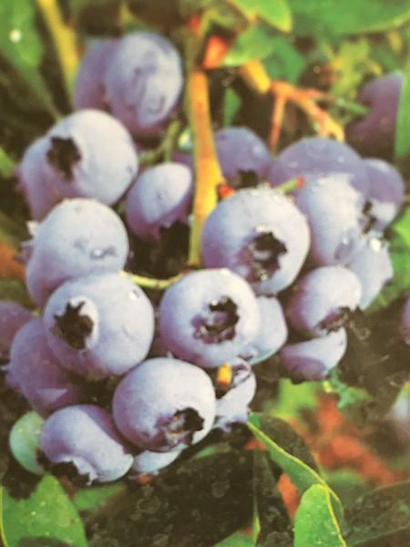 """Vaccinium corymbosum """"Duke"""" (i.5lTopf), Blaubeeren"""