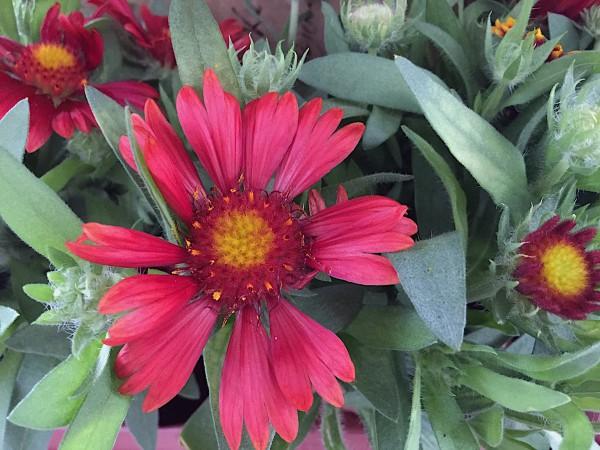 "Gaillardia x aristata ""Burgunder"" (i.11cmT.), Kokardenblume"