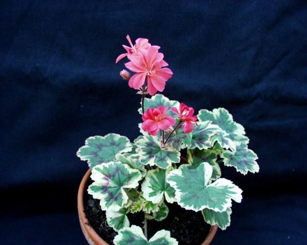 Pelargonium ´Ray Bidwell`(i.11cmT.)