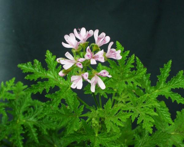 Pelargonium viscosissimum (I.11cmT.)