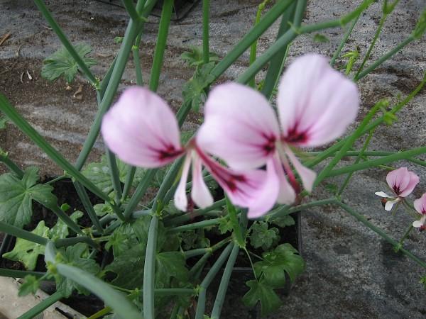 Pelargonium tetragonum (i.11cmT.) Sukkulenten Pelargonie